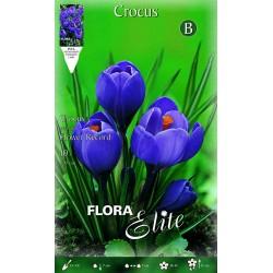 Κρόκος  Flower Record