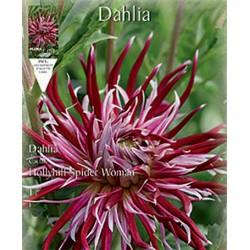 Ντάλια Hollyhill Spider