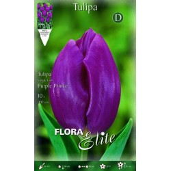 Τουλίπα Purple Prince