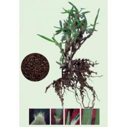 Σπόρος Γκαζόν ΚΙΚΟΥΓΙΟΥ - Penisetum Glandestinum